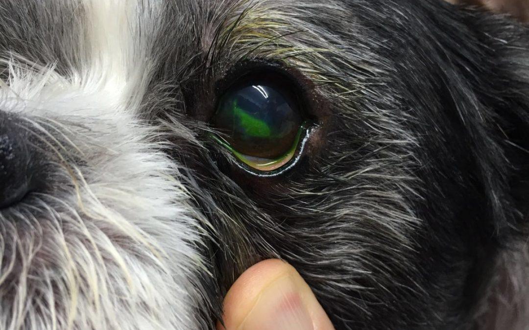 Caso Clínico: úlcera corneal en perrito